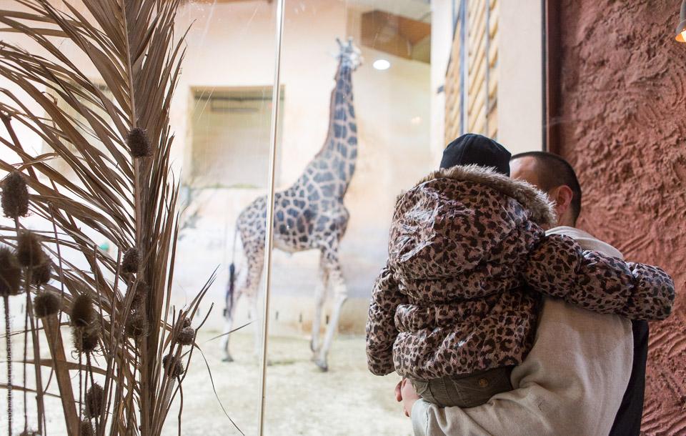 Hos girafferna