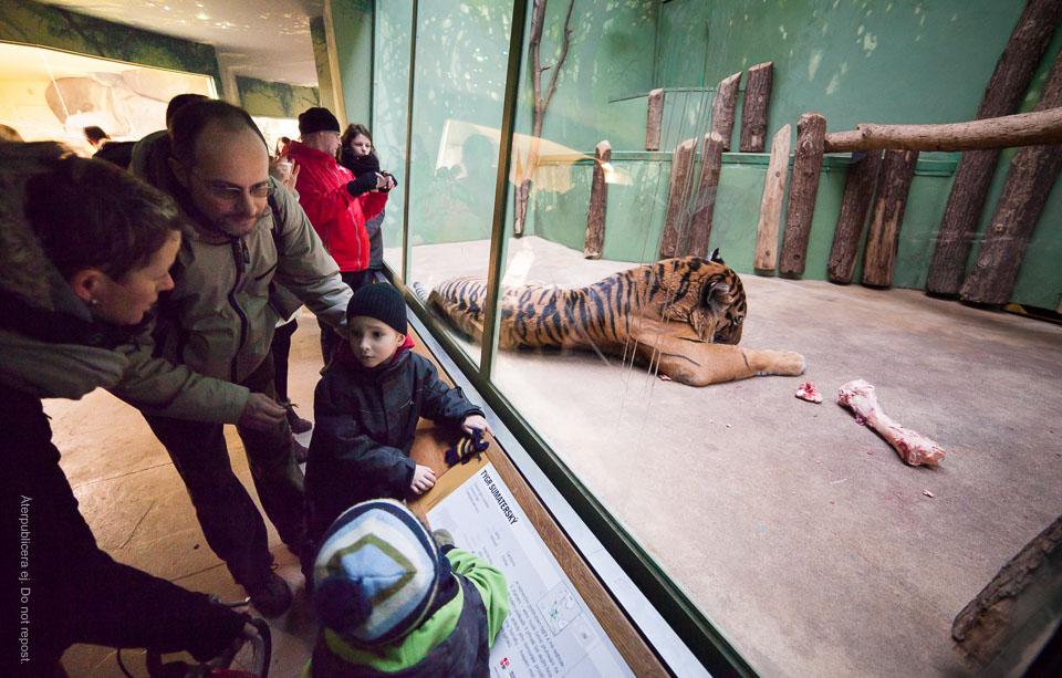 Tigern äter