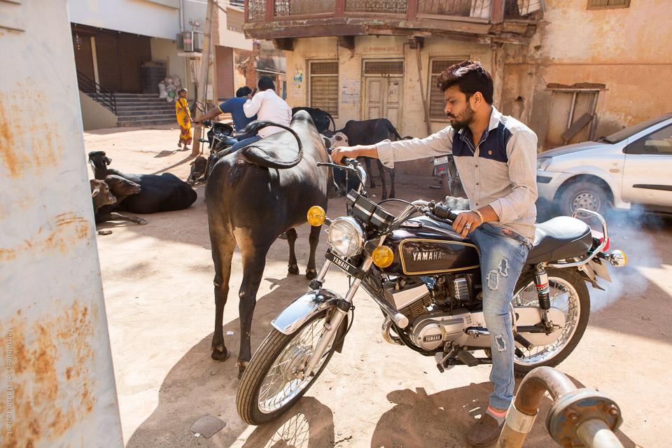 Motorcyklist och kor