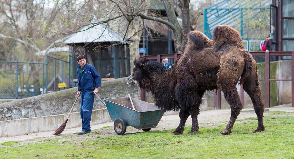 Förföljd av kamel