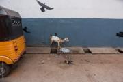 Get och kråkor